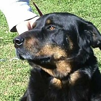 Rottweiler Mix Dog for adoption in Tyler, Texas - HT-Browzer