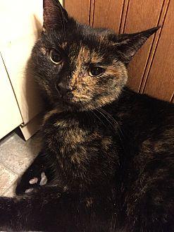 Domestic Shorthair Cat for adoption in Plattekill, New York - Maple