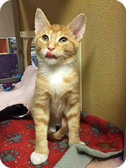 Domestic Shorthair Kitten for adoption in Rochester, Minnesota - Chester