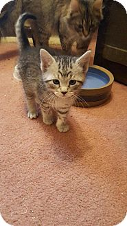 Domestic Mediumhair Kitten for adoption in Whitewater, Wisconsin - Madeline