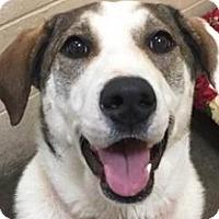 Adopt A Pet :: Sooie - Springdale, AR