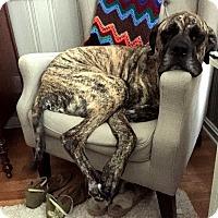 Adopt A Pet :: Napoleon - Norwood, GA