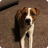 Adopt A Pet :: Stella - oklahoma city, OK