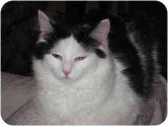 Domestic Longhair Cat for adoption in Duncan, British Columbia - Sweetheart