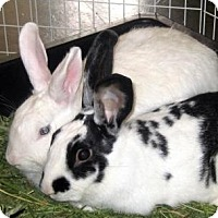 Blanc de Hotot Mix for adoption in Los Angeles, California - Charly and Sydney