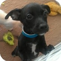 Adopt A Pet :: Pineapple - Phoenix, AZ