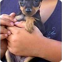 Adopt A Pet :: Brutus - dewey, AZ