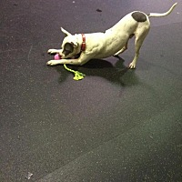 Bull Terrier Mix Dog for adoption in Silver Spring, Maryland - Dallas