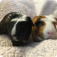 Adopt A Pet :: Nikolai and Prometheus - Fullerton, CA