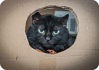 Domestic Mediumhair Cat for adoption in New York, New York - Marcus