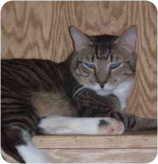 Siamese Cat for adoption in Bedford, Massachusetts - Maxie