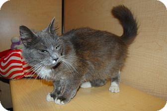 Domestic Shorthair Kitten for adoption in Whittier, California - Vanessa
