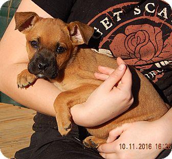German Shepherd Dog/English Bulldog Mix Puppy for adoption in Niagara Falls, New York - Whirlwind (6 lb) Video!