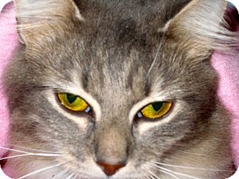 Maine Coon Cat for adoption in Newtown, Connecticut - Mia