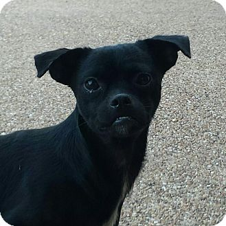 Pug/Chihuahua Mix Dog for adoption in Mexia, Texas - Romeo