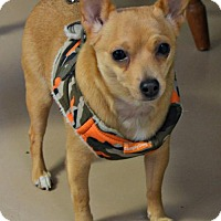 Chihuahua Mix Dog for adoption in Yreka, California - Daisy