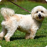 Bichon Frise Mix Dog for adoption in Penngrove, California - Sergi