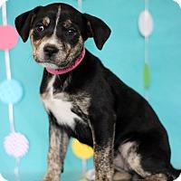 Adopt A Pet :: Allspice - Waldorf, MD