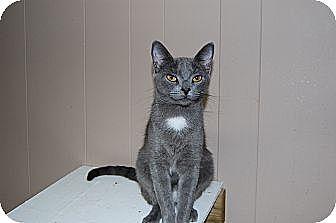 American Shorthair Cat for adoption in Jackson, Mississippi - Tina Turner