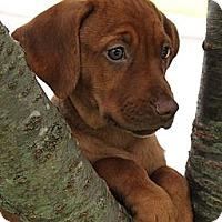 Adopt A Pet :: Stewie - South Jersey, NJ