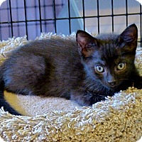Adopt A Pet :: Inky - Victor, NY