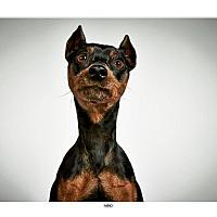 Adopt A Pet :: Nino - New York, NY