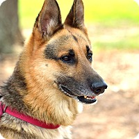 Adopt A Pet :: Shep - Dacula, GA