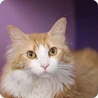 Domestic Mediumhair Cat for adoption in Fresno, California - Tiger