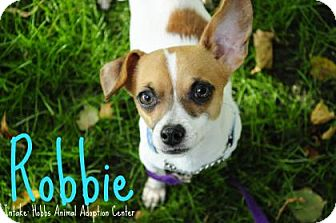 Chihuahua Mix Dog for adoption in Hamilton, Ontario - Robbie