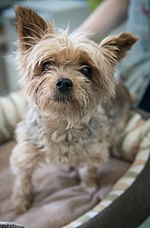 Yorkie, Yorkshire Terrier Mix Dog for adoption in New York, New York - Rosie