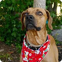 Adopt A Pet :: Buzz - Ardmore, PA