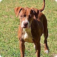 Adopt A Pet :: BELLA - Brooksville, FL
