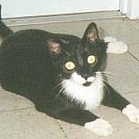 Domestic Shorthair Cat for adoption in Miami, Florida - Sox