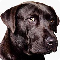 Labrador Retriever Mix Dog for adoption in Dana Point, California - Bear