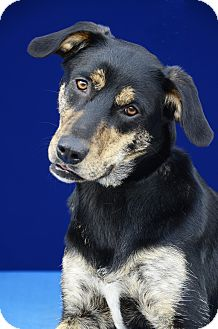 Terrier (Unknown Type, Medium)/Catahoula Leopard Dog Mix Dog for adoption in LAFAYETTE, Louisiana - ALEXIS