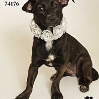Adopt A Pet :: Olive Aka Lilo (Foster Care) - Baton Rouge, LA