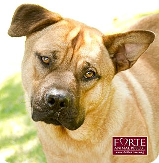 Boxer/Chow Chow Mix Dog for adoption in Marina del Rey, California - Charlie