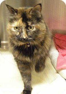 Domestic Mediumhair Cat for adoption in Wickenburg, Arizona - Tia
