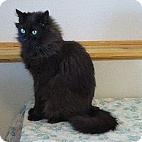 Domestic Mediumhair Cat for adoption in Shell Lake, Wisconsin - Weaver