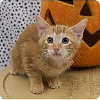 Adopt A Pet :: Pumpkin - Warren, MI