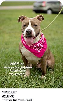 American Pit Bull Terrier Mix Dog for adoption in Zanesville, Ohio - Unique - RESCUED!