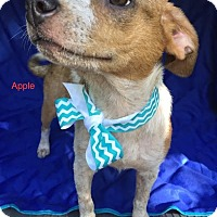 Adopt A Pet :: Apple-pending adoption - Manchester, CT