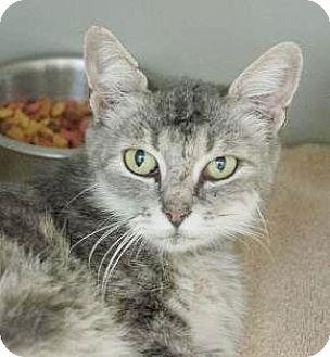 Maine Coon Cat for adoption in Lincolnton, North Carolina - Chardonnay $20
