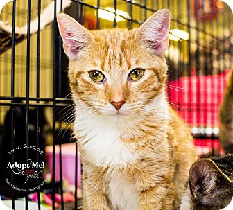 Domestic Shorthair Kitten for adoption in Charlotte, North Carolina - A..  Megan