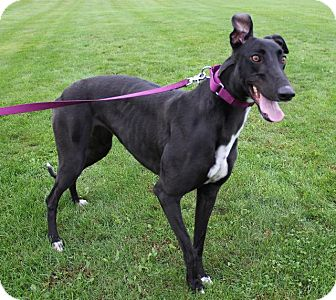 Greyhound Dog for adoption in Carol Stream, Illinois - Cry Gia