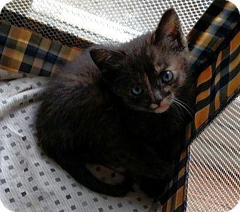 Domestic Mediumhair Kitten for adoption in Ypsilanti, Michigan - Ping, Pong and Quip