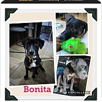 Adopt A Pet :: Bonita - hollywood, FL