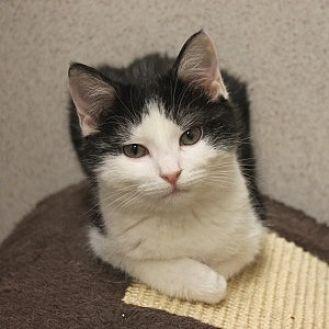 Domestic Mediumhair Kitten for adoption in Naperville, Illinois - Selena