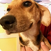 Beagle Mix Dog for adoption in ST LOUIS, Missouri - GINGER