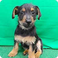 Adopt A Pet :: Simon - San Diego, CA